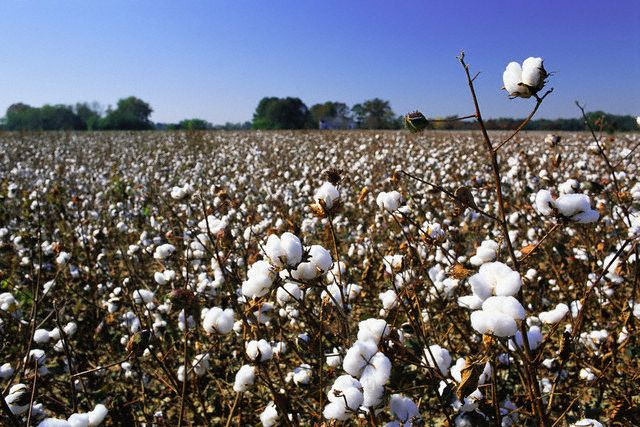 Field of Cotton